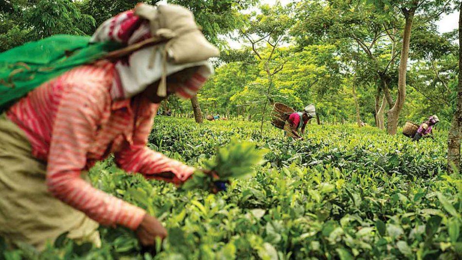 भारत से चाय का निर्यात अप्रैल में 11.5 फीसदी बढ़ा